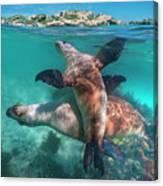 Australian Sea Lion Pair, Coral Coast Canvas Print