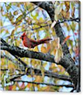 Autumn Cardinal Canvas Print