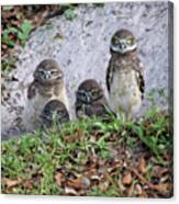 Baby Burrowing Owls Posing Canvas Print