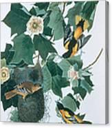 Baltimore Orioles Icterus Galbula Canvas Print