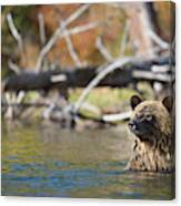 Bathing Blonde Grizzly Canvas Print