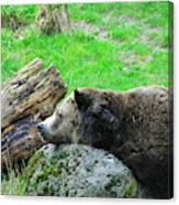 Bear Sleeping On A Rock. Canvas Print