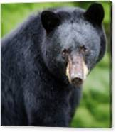 Bear Stare Canvas Print