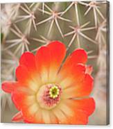 Beautiful Claret Cup  Hedgehog Blossoms Canvas Print