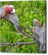 Beautiful Galah Birds With Babies. Wilsons Promontory National Park, Australia Canvas Print