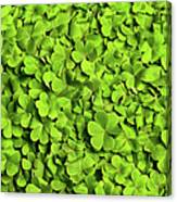 Bed Of Clover Canvas Print