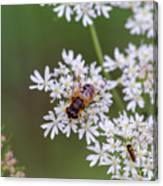 Bee Relaxing On A Flower. Canvas Print