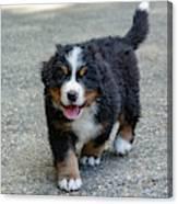 Bernese Mountain Dog Puppy 2 Canvas Print