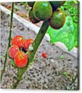 Berries In Shaman's Garden In Amazon Jungle, Peru Canvas Print
