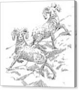 Bighorns Canvas Print