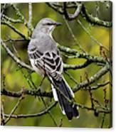 Mockingbird In Tree Canvas Print