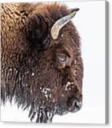 Bison In Winter Canvas Print