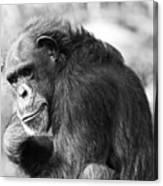 Black And White Chimp Canvas Print