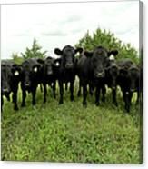 Black Angus Cows Canvas Print