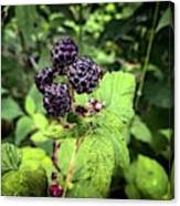 Black Raspberries  Canvas Print