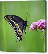 Black Swallowtail Balance Canvas Print