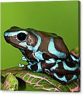 Blue And Black Dart Frog, Dendrobates Canvas Print