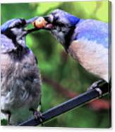 Blue Jays Wooing 2 Canvas Print