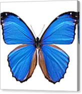 Blue Morpho Butterfly - Large Canvas Print