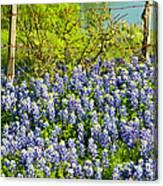 Bluebonnets, Texas Canvas Print