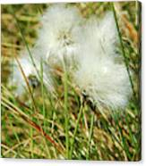 Bog Cotton On The Moor Canvas Print