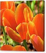 Bright Orange Tulips Canvas Print