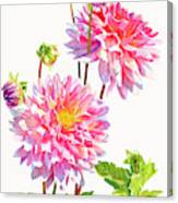 Bright Pink Dahlias With Buds Canvas Print