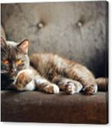 British Cat At Home Canvas Print