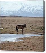 Brown Icelandic Horse In Profile Near Stream Canvas Print