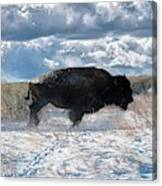 Buffalo Charge.  Bison Running, Ground Shaking When They Trampled Through Arsenal Wildlife Refuge Canvas Print