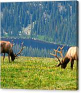 Bull Elk Grazing In Colorado Canvas Print