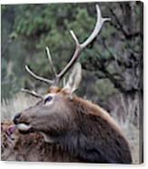 Bull Elk Grooms Himself Canvas Print