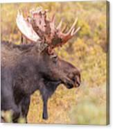 Bull Moose In Fall Colors Canvas Print