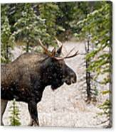 Bull Moose In Snow Fall Canvas Print