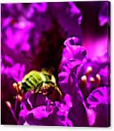 Bumble Bee On A Rhodedendron  Canvas Print