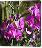 Bunch Of Pink Sweet Peas In The Sun Canvas Print