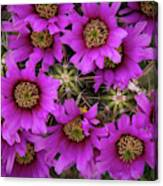 Burst Of Fuchsia Cactus Flowers Canvas Print