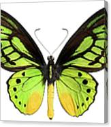 Butterfly Lepidoptera With Green, Black Canvas Print