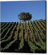 Californias Winegrape Growing Region Of Canvas Print