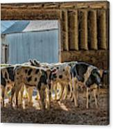 Calves Canvas Print
