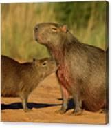Capybara Juvenline Sniffing Mother Canvas Print