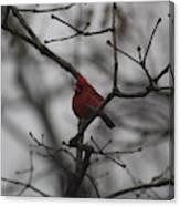 Cardinal On The Limb Canvas Print