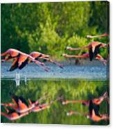 Caribbean Flamingos Flying Over Water Canvas Print