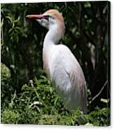 Cattle Egret With Breeding Feathers Canvas Print
