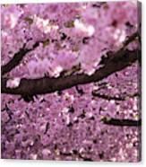 Cherry Blossom Tree Panorama Canvas Print
