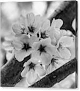Cherry Blossoms 2019 E Canvas Print