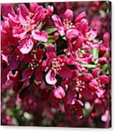 Cherry Blossoms 2019 IIi Canvas Print