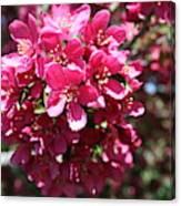 Cherry Blossoms 2019 Iv Canvas Print