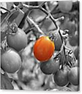 Cherry Tomatoes Partial Color Canvas Print