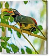 Chestnut-eared Araacari Canvas Print